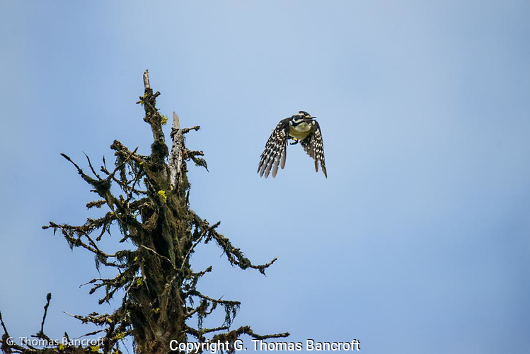 The Hairy Woodpecker took off to fly over me, screaming loudly that I was near her nest. (G. Thomas Bancroft)