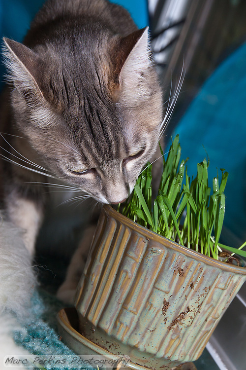 Lucca sniffs a pot filled with newly germinated (and nibbled on) oat grass (tack oats; Avena sativa). (Marc C. Perkins)