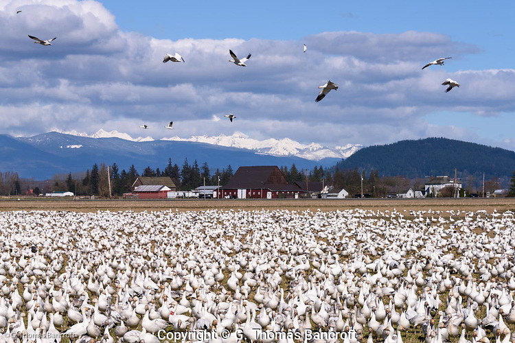 Snow Geese congregate in a field at Hayton Reserve grazing on the grass and digging up roots. Mt. Baker rises in the background and is mostly covered by clouds. (G. Thomas Bancroft)