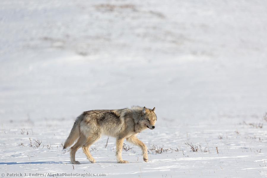 Arctic wolf on the snow covered tundra in Alaska's Arctic. (Patrick J Endres / AlaskaPhotoGraphics.com)