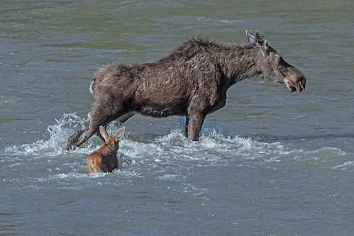 To help her calf cross the Shoshone River, the moose cow blocks the river's raging current with her powerful legs making it easier for the calf to move forward. (Sandy Sisti)