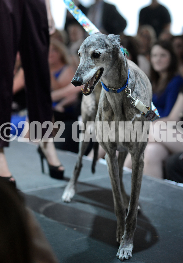 DOYLESTOWN, PA - JUNE 06: Bud the dog pauses on the runway during the Canines on the Catwalk fashion show June 6, 2014 at the Michener Museum in Doylestown, Pennsylvania. Canines on the Catwalk is a fashion show coupling professional models, high-end clothes and dogs. The program benefits animal rescue  (Photo by William Thomas Cain/Cain Images) (William Thomas Cain)