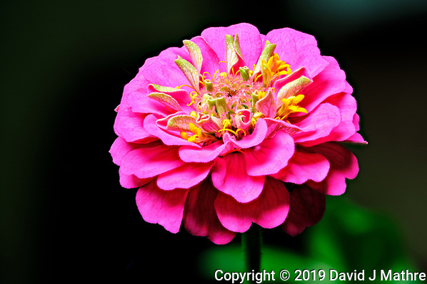 Zinnia Flower. Composite of 23 focus stacked images taken with a Fuji X-T3 camera and 80 mm f/2.8 macro lens (ISO 160, 80 mm, f/5.6, 1/30 sec). Raw images processed with Capture One Pro and Helicon Focus (DAVID J MATHRE)
