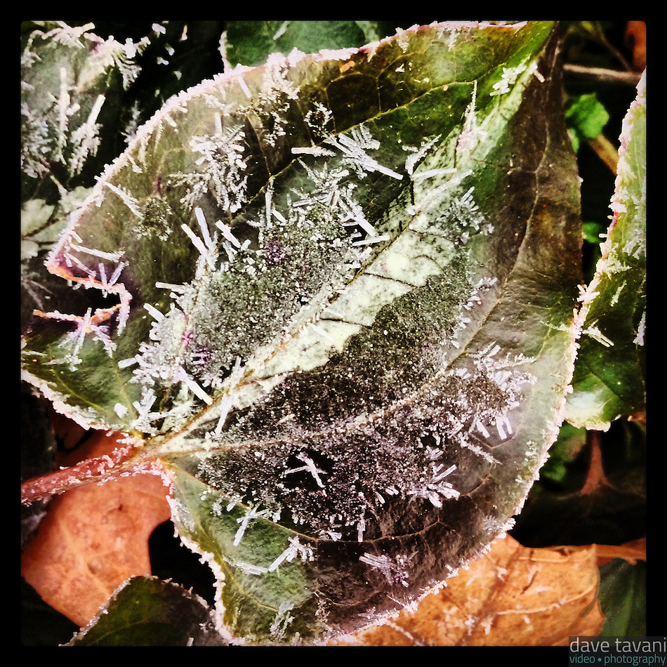Frost covers a leaf on a cold February 31, 2013 morning. (Dave Tavani)