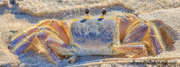 Picture of Outer Banks ghost crab. (Daniel Waters)