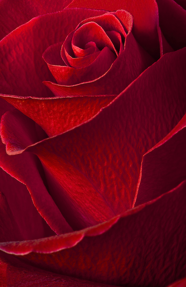 Red rose with a soft feel to it.  Processed in photoshop with 4 photographs.  An elegant and romantic macro image. (Janice Sullivan, SJP)