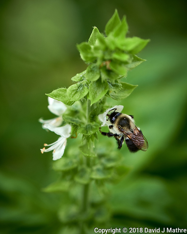 Bumblebee on Basil Flowers. Image taken with a Fuji X-H1 camera and 80 mm f/2.8 macro lens (ISO 200, 80 mm, f/4, 1/1100 sec). (DAVID J MATHRE)