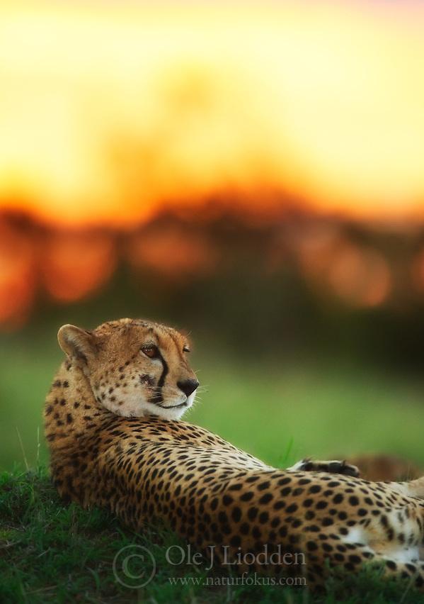 Cheetah (Acinonyx jubatus) in Masai Mara, Kenya (Ole Jørgen Liodden)