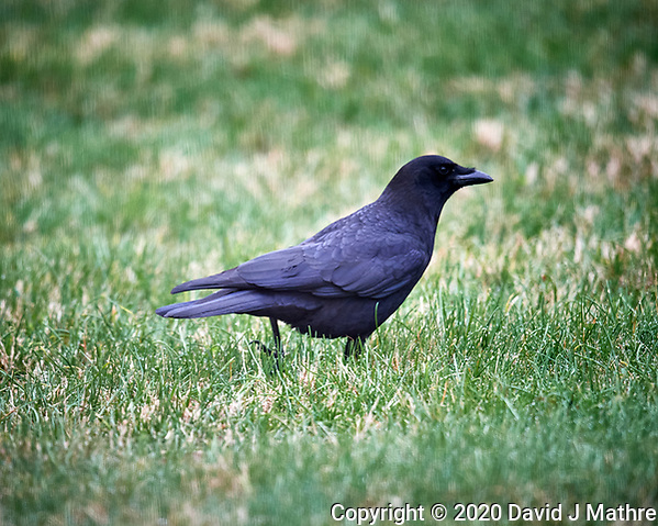Black Crow. Image taken with a Nikon D5 camera and 600 mm f/4 VR lens (ISO 1600, 600 mm, f/4, 1/500 sec). (DAVID J MATHRE)