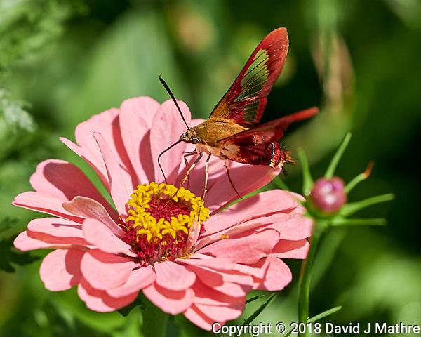 Clearwing Hummingbird Moth. Image taken with a Fuji X-H1 camera and 80 mm f/2.8 macro lens (ISO 200, 80 mm, f/2.8, 1/2900 sec). (DAVID J MATHRE)