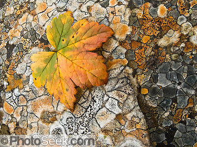 An orange and green leaf rests on polygons of orange and gray lichen in Denali State Park, Alaska, USA. (Copyright Tom Dempsey / PhotoSeek.com)