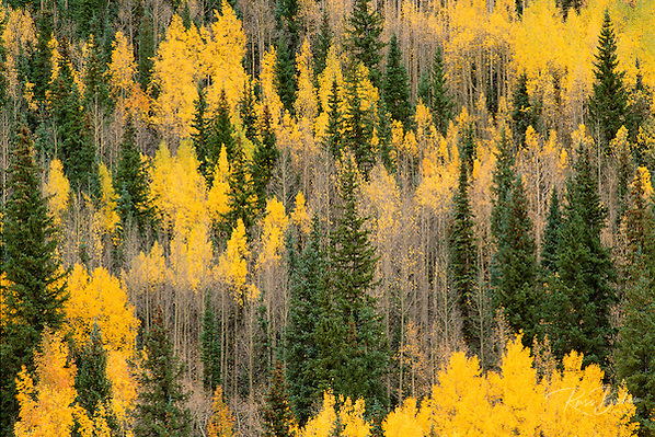 Golden fall aspens and firs in the San Juan Mountains, Uncompahgre National Forest, Colorado USA (Russ Bishop/Russ Bishop Photography)