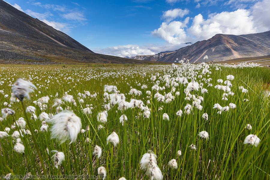 Alaska cotton grass in the tundra wetlands in Angiaak Pass, Gates of the Arctic National Park, Alaska (Patrick J Endres / AlaskaPhotoGraphics.com)