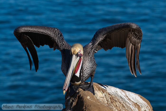 This California brown pelican (Pelecanus occidentalis californicus) is photographed standing on a rock in front of the ocean, just about to take off.  The pelican's feet are splayed out on the rock, and it's hunched forward with its wings arched out, ready to leap into the air and start flying. (Marc C. Perkins)