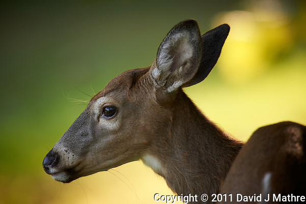 Doe Portrait Session. Autumn Backyard Nature in New Jersey. Image taken with a Nikon D3s and 600 mm f/4 VR lens + TC-E III 20 teleconverer (ISO 560, 1200 mm, f/8, 1/160 sec). (David J Mathre)