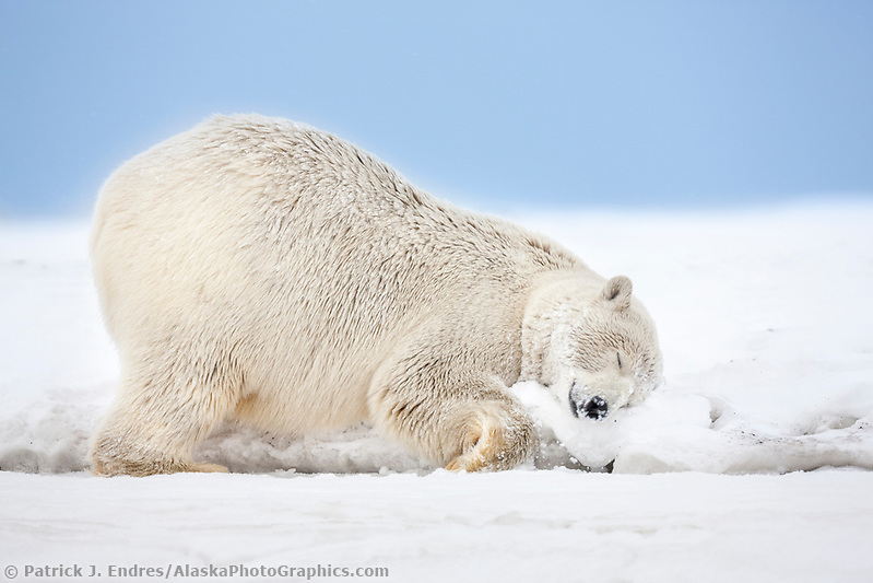 Female polar bear rubs her neck in the snow on an island in the Beaufort Sea on Alaska's arctic coast. (Patrick J. Endres / AlaskaPhotoGraphics.com)