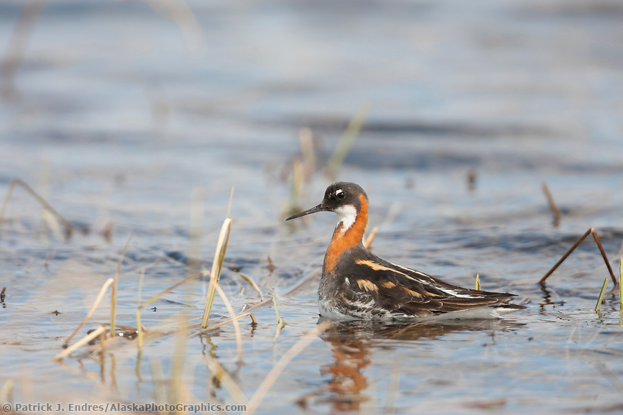 National Petroleum Reserve Alaska photos:Red-necked phalarope, tundra pond, National Petroleum Reserve, Alaska. (Patrick J. Endres / AlaskaPhotoGraphics.com)