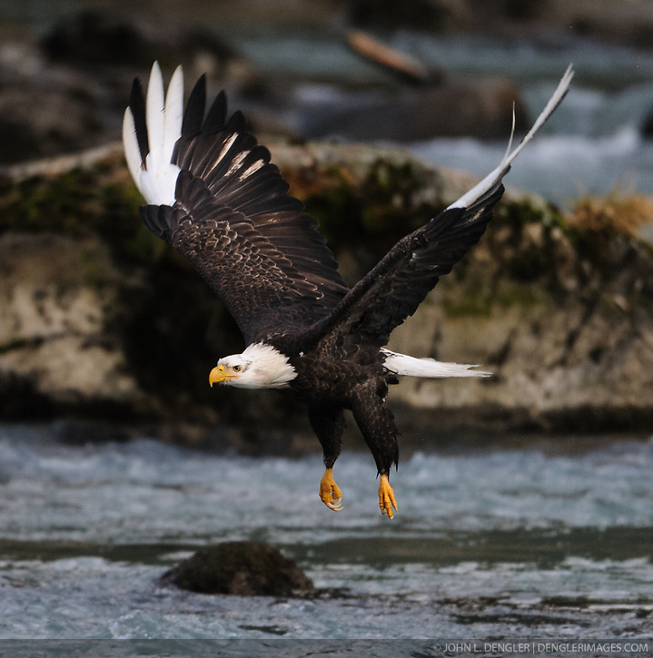 A bald eagle (Haliaeetus leucocephalus) with white wing tips and white talons flies along the Chilkoot River in the  Chilkoot Lake State Recreational Site near Haines, Alaska. The white wing tips and talons are caused by a leucistic condition -- a condition of reduced pigmentation resulting in white patches. These patches of white can occur while the rest of the animal is colored normal. Unlike albinism, the eye color is normal. (John L. Dengler)