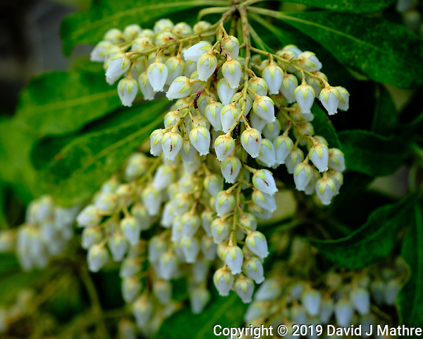 Pieris japonica Blooms. Image taken with a Fuji X-H1 camera and 80 mm f/2.8 macro lens (DAVID J MATHRE)