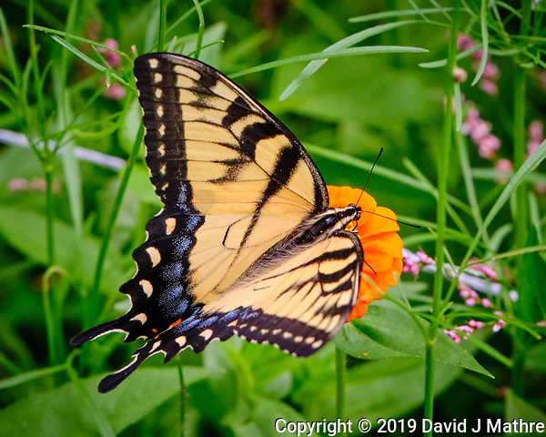 Tiger Swallowtail Butterfly feeding on Zinnia. Image taken with a Fuji X-H1 camera and 80 mm f/2.8 macro lens (DAVID J MATHRE)
