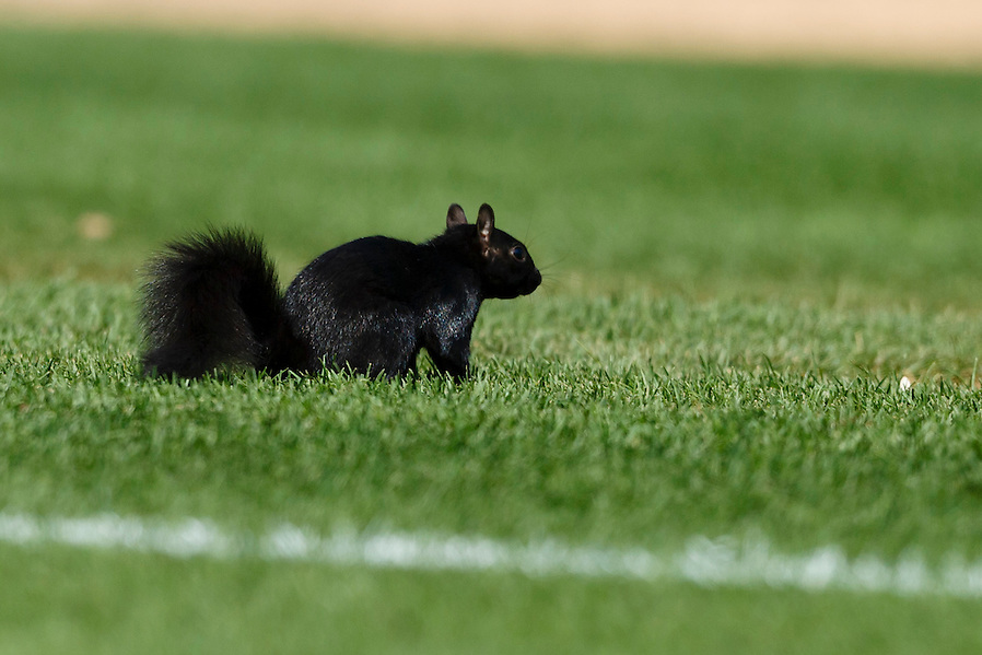 Aug 6, 2015; Detroit, MI, USA; Black squirrel runs onto the field during the eighth inning of the game between the Detroit Tigers and the Kansas City Royals at Comerica Park. Mandatory Credit: Rick Osentoski-USA TODAY Sports (Rick Osentoski/Rick Osentoski-USA TODAY Sports)