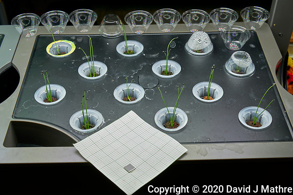 AeroGarden Farm 04-Right. Bunching Onions (all 12 positions) at 12 days. Image taken with a Leica TL-2 camera and 35 mm f/1.4 lens (ISO 400, 35 mm, f/8, 1/30 sec). (DAVID J MATHRE)