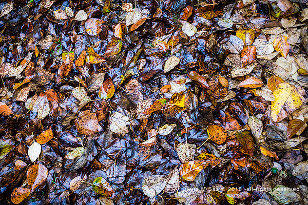 11.23.18 - Forest Floor... (©David M Sax - all rights reserved)