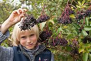 Schwarzer Holunder, Kind erntet reife Holunderbeeren, Fliederbeeren, Sambucus nigra, Common Elder, Elderberry, Sureau commun, Sureau noir (Frank Hecker)