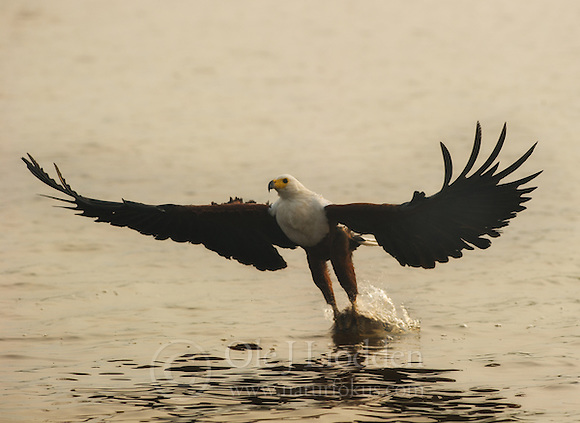 African Fish Eagle (Haliaeetus vocifer) in flight in Akagera, Rwanda (Ole Jørgen Liodden)