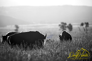 """Bison, Grand Teton National Park (Daryl Hunter's """"The Hole Picture"""" • Daryl L. Hunter has been photographing the Yellowstone Region since 1987, when he packed up his view camera, Pentex 6X7, and his 35mm's and headed to Jackson Hole Wyoming. Besides selling photography Daryl also publ/Daryl L. Hunter)"""