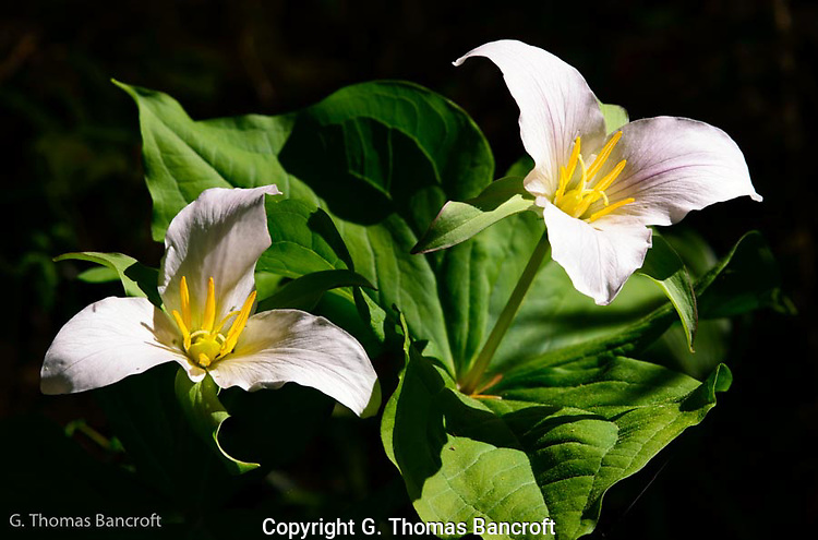 The trillium flowers were starting to show pink, indicating they they were almost finished blooming.  I loved how the stamines shinned brigh yellow in the sun, just waiting to share there pollen. (G. Thomas Bancroft)