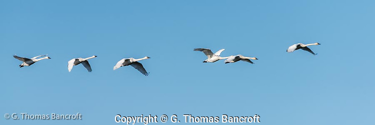 Several family groups of tundra swans took off from Skagit Bay and flew over Hayton Reserve heading inland to feed. (G. Thomas Bancroft)
