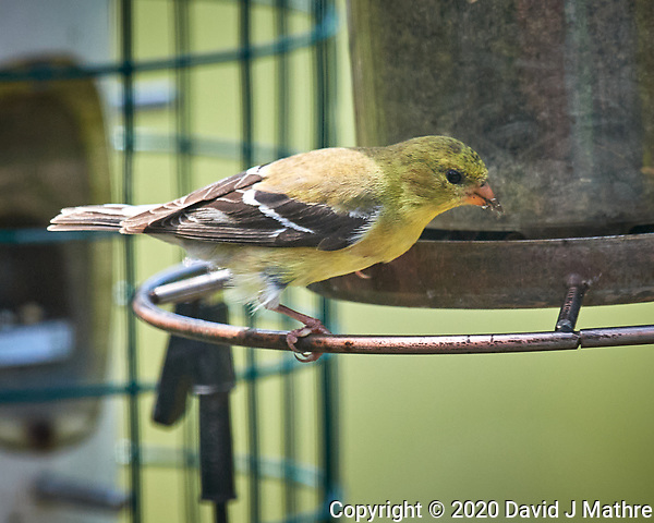 American Goldfinch. Image taken with a Nikon D5 camera and 600 mm f/4 VR lens (ISO 450, 600 mm, f/5.6, 1/1250 sec) (DAVID J MATHRE)