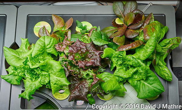 AeroGarden Farm #1. Lettuce ready for first harvest (20 days). Image taken with a Nikon D850 camera and 60 mm f/2.8 macro lens (ISO 1400, 60 mm, f/11, 1/125 sec) (DAVID J MATHRE)