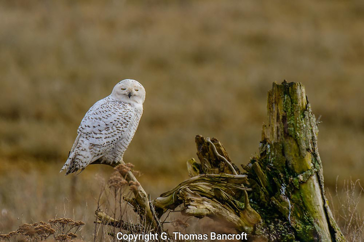 The Snowy Owl rested peacefully on a dead branch just above the grassland-marsh.  It ocassionally looked lazily from side to side. (G. Thomas Bancroft)