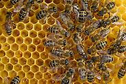 Honey bee (Apis mellifera), Kiel, Germany | Die Königin der Honigbiene (Apis mellifera) umringt von den Arbeitern. Sie wird von ihnen umsorgt, gefüttert und über die Waben geleitet.  Kiel, Deutschland (Solvin Zankl)