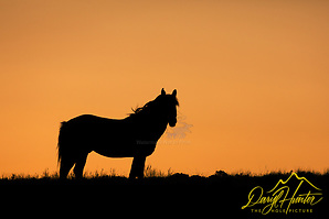 "Wyoming Mustang Stallion Sunset Silhouette. (Daryl Hunter's ""The Hole Picture""/Daryl L. Hunter)"