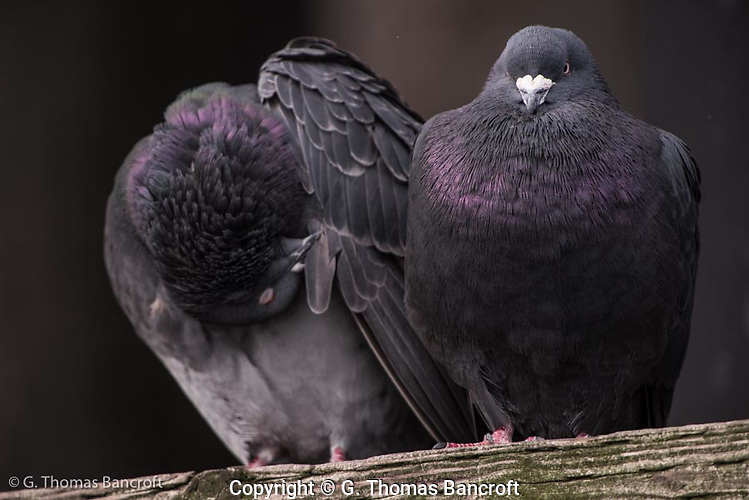Two rock pigeons rest on a cross arm of the pillings at Mukilteo Ferry Dock. (G. Thomas Bancroft)