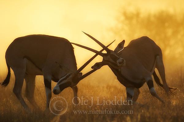 Oryx (Oryx gazella) in rut. Samburu national park, Kenya (Ole Jørgen Liodden)