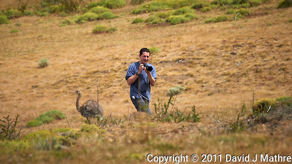 Photographer Missing the Greater Rhea (Darwin's Rhea) Escaping Behind His Back in Patagonia. Image taken with a Nikon D3s and 70-300 mm VR lens (ISO 200, 300 mm, f/11, 1/500 sec). (David J Mathre)