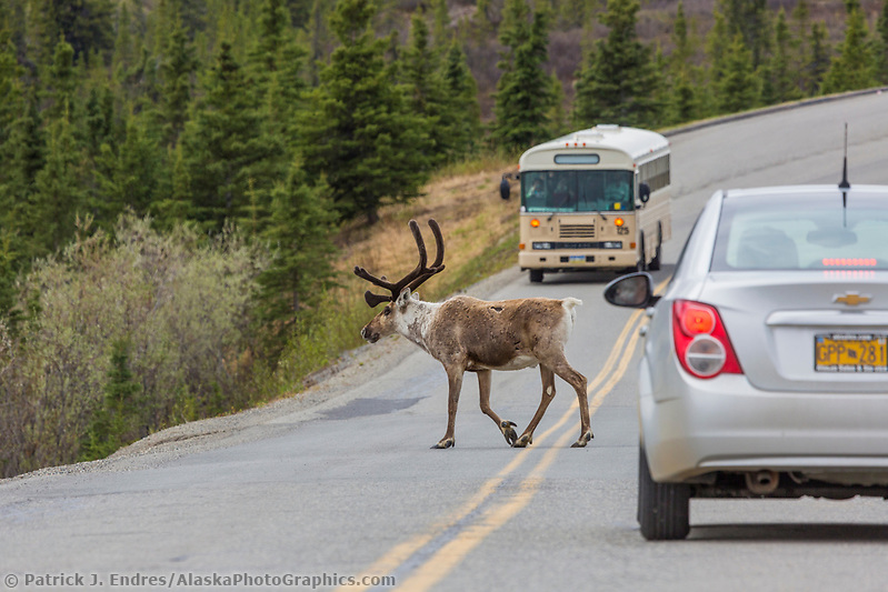 Denali National Park photos: Tourists view caribou on the park road in Denali National Park, Alaska. (Patrick J Endres / AlaskaPhotoGraphics.com)