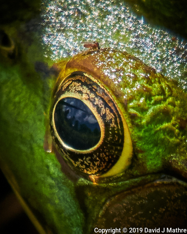 Kermit the Frog with a Mosquito above its eye (cropped). Image taken with a Nikon D850 camera and 100-500 mm f/5.6 VR lens (ISO 900, 500 mm, f/5.6. 1/1000 sec). (DAVID J MATHRE)