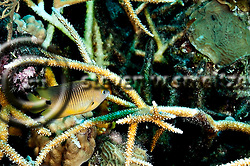 Threespot Damselfish, Stegastes variabilis, Caribbean (StevenWSmeltzer.com)