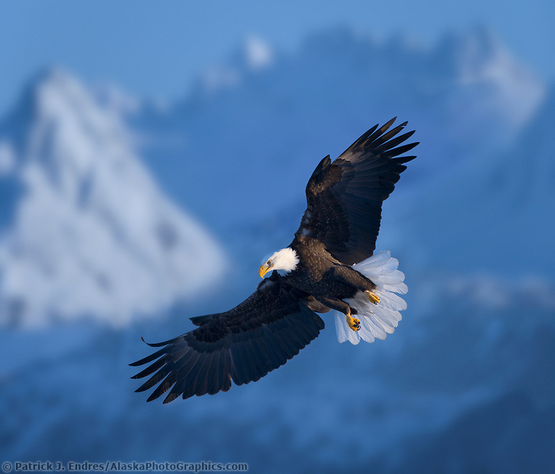 DIGITAL COMPOSITE: Bald Eagle, Homer, Southcentral Alaska (Patrick J. Endres / AlaskaPhotoGraphics.com)
