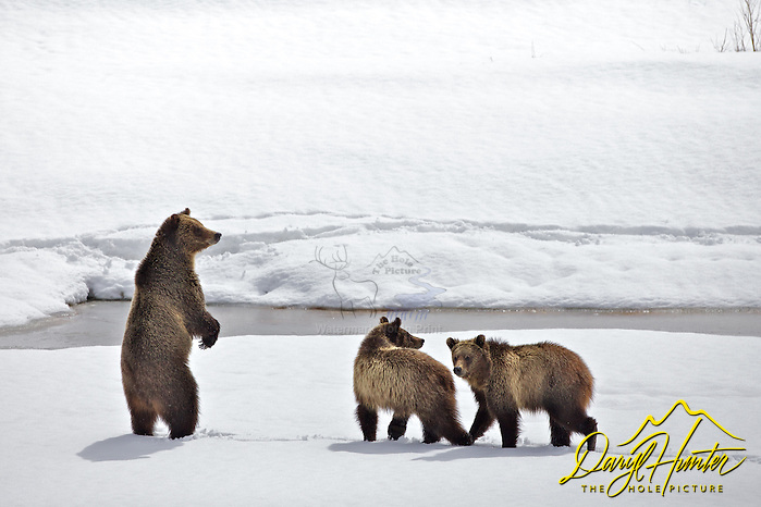 "Grizzly checking for danger in Grand Teton National Park (© Daryl Hunter's ""The Hole Picture""/Daryl L. Hunter)"