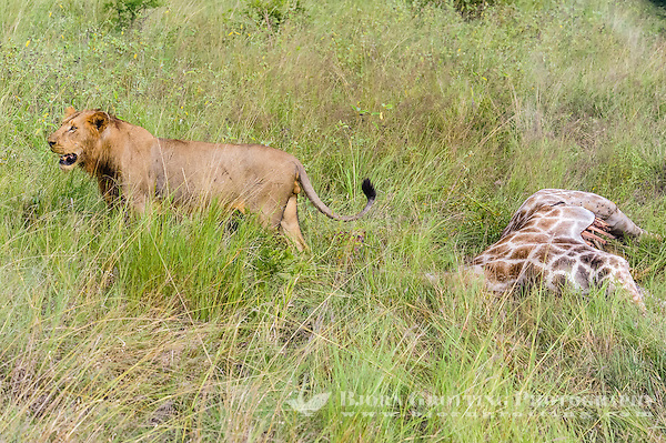 Young male lions feeding on a fresh kill; a giraffe. Kruger National Park, the largest game reserve in South Africa. (Photo Bjorn Grotting)