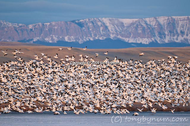 snow geese lifting off at freezeout lake wildlife area rocky mountain front backdrop (Tony Bynum)