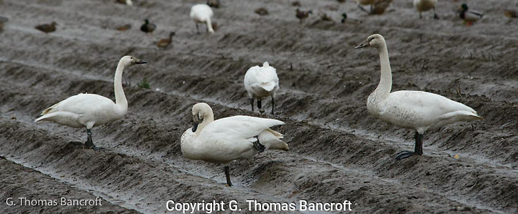 A Tundra Swan family feeds in a fallow field (G. Thomas Bancroft)