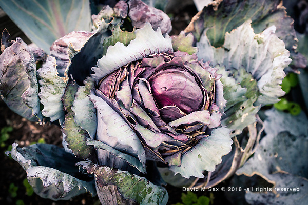 10.4.18 - Cabbage.... (© David M Sax 2018 - all rights reserved)
