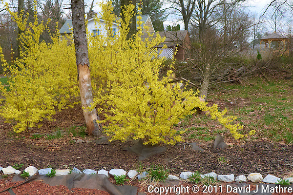 Forsythia Blooms. Spring in New Jersey. Image taken with a Leica D-Lux 5 (ISO 100, 7.5 mm, f/2.8, 1/250 sec) (David J Mathre)